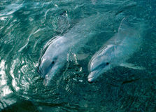 Two dolphins in sea Stock Photo