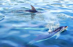 Two Dolphins in Sea. Forward motion is created by the whale's or dolphin's tail, or flukes, moving up and down in the water. It serves as the propeller Stock Photo