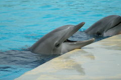 Two dolphins during a show Stock Images
