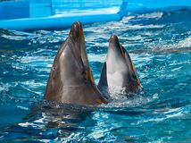 Two dolphins swimming and dancing in blue water stock photos