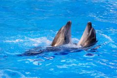 Two dolphins swim in the pool Stock Photo