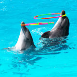 Two dolphins swim in the pool Royalty Free Stock Images