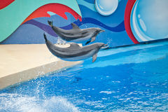 Two dolphins in the swimming Royalty Free Stock Image