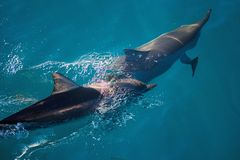 Two dolphins swimming Stock Images