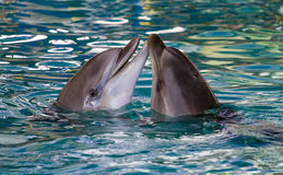 Two dolphins swimming together Stock Images