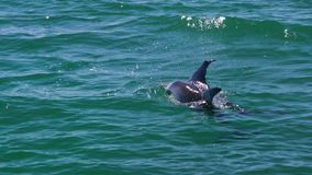 Two dolphins swimming together. A medium shot of two dolphins swimming together stock footage