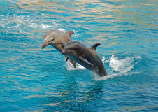 Two Dolphins synchronized. Dolphins performing synchronized swimming at an oceanarium in South Africa Stock Images