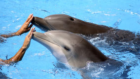 Two Dolphins with Trainer. Two dolphins in a pool with a trainer Royalty Free Stock Photos