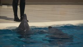 Two dolphins in the trainer feet. Two dolphins at the trainer feet waiting for commands stock video footage