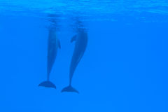 Two Dolphins Under The Water. Animals - Couple of dolphins in the blue water Stock Image