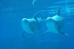 Two Dolphins  underwater. Two happy Dolphins swim underwater Stock Photo
