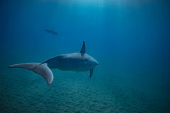 Two dolphins underwater in blue royalty free stock photography