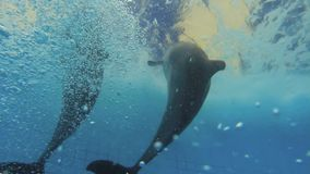 Two Dolphins Underwater. Two dolphins playing with balls during performance stock video