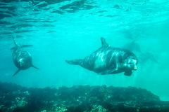 Two dolphins underwater. Two dolphins swim and play in a pool. Dolphin underwater sea background Stock Image