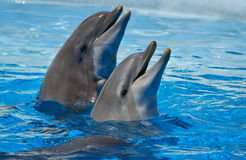 Two dolphins in the water. Portrait of two dolphins in the water Royalty Free Stock Photo