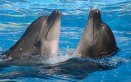 Two dolphins in the water royalty free stock photos