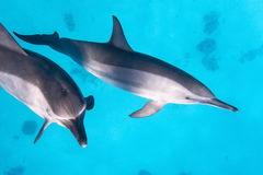 Two dolphins. Wild spinner dolphins in the coral reef Stock Photography