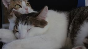 Two domestic adult tabby cats sleeping together at home. On a chair stock footage