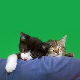 Two Domestic Cats Stock Images