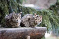 Two domestic cats basking in the sun Stock Photography