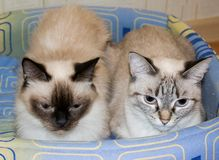 Two domestic cats Stock Image
