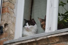 Home cats looking outside from the window. Two domestic cats near a window looking outside curious to see exterior life stock images