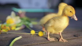 Two domestic ducklings walking in green grass outdoor stock video