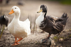 Two domestic ducks on a pond Royalty Free Stock Photo