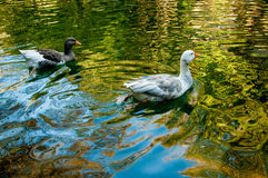 Two domestic geese in a pond Royalty Free Stock Photo
