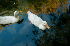 Two domestic geese in a pond Stock Photos