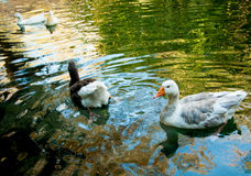 Two domestic geese in a pond Stock Photo