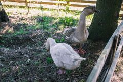 Two domestic geese. Poultry walk on the street. Aviary for animals in the forest. Two domestic geese. Poultry walk on the street. Aviary for animals stock photo