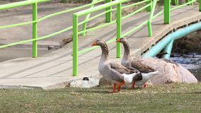 Two domestic geese  proudly walking by a foot bridge Royalty Free Stock Photo