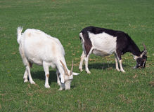 Two domestic goat Royalty Free Stock Photography