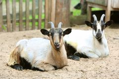 Two Domestic Goats On The Farm, Looking At Camera, Shooting Outdoors Royalty Free Stock Photo