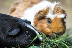 Two domestic guinea pigs Cavia porcellus, also known as cavy, eating green grass. stock photos