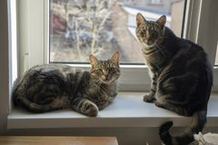Two domestic marble cats, eye contact, cute funny kitty face, amazing lime eyes stock image