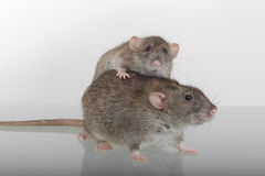 Two domestic rat Stock Photography