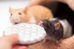 Two domestic rats gnaw cookies from hands. A symbol of year according to the Chinese calendar. Two domestic rats gnaw cookies from hands. A symbol of year royalty free stock photography
