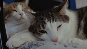 Two domestic tabby cats sleeping together at home stock video