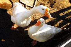 Two domestic white goose birds on the rural. Scene royalty free stock images