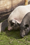 Two domesticated pigs. Standing on grassy farmland close to wooden fence Royalty Free Stock Photo