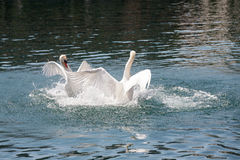Two dominant swans battle on the river watwers. The fight of two dominant swans takes place on the waters of the River Reuss in Lucerne in Switzerland royalty free stock photo