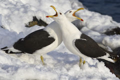 Two Dominican gulls crying during mating Stock Image