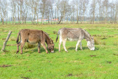 Two donkey eating grass Royalty Free Stock Photo