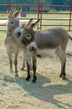 Two Donkey Friends Royalty Free Stock Photos