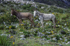 Two donkey. Gray and brown, stand on mountain slope. Santa Cruze track, Peru Stock Photography