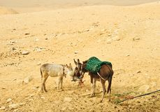 Two donkeys Royalty Free Stock Photography