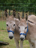 Two Donkeys Royalty Free Stock Photo