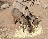 Two Donkeys. A pair of donkeys eating hay Royalty Free Stock Photos